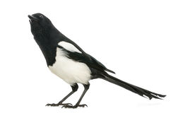 Common Magpie looking up curiously, Pica pica, isolated Stock Photography