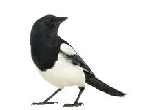 Common Magpie looking up, Pica pica, isolate Stock Image