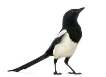 Common Magpie looking up, Pica pica, isolated Stock Image
