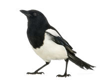 Common Magpie looking up, Pica pica, isolated Royalty Free Stock Photo