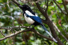 Common Magpie (Pica pica) Stock Images