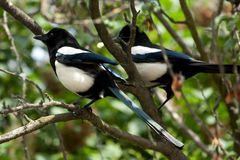Common Magpie (Pica pica) Stock Photos