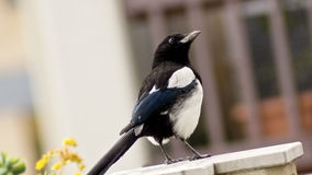 Common magpie Pica pica Stock Photography