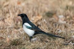 Eurasian magpie sitting on the ground among dry autumn grass stock images
