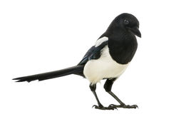 Common Magpie, Pica pica, isolated Royalty Free Stock Images