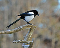 The common magpie, Pica pica Royalty Free Stock Photo