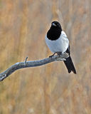 The common magpie, Pica pica Stock Photo