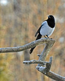 The common magpie, Pica pica Stock Photography
