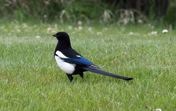 Common Magpie Royalty Free Stock Photography