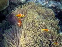 Common Maldive Anemonefish. A little Maldive Anemonefish is an orange and timid fish in Maldivian ocean Royalty Free Stock Photo