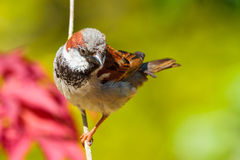 Common male adult house sparrow Stock Image