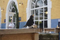 Common male blackbird Royalty Free Stock Photo