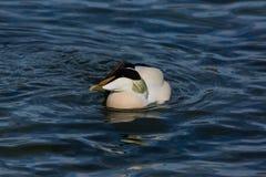 Common male eider duck somateria mollissima swimming, blue wat Stock Photo
