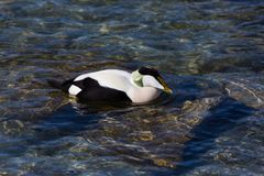 Common male eider duck somateria mollissima swimming in shallo royalty free stock images