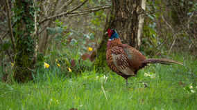 Common Male Pheasant otherwise known as Phasianus colchicus. Beautiful Male Pheasant otherwise known as Phasianus colchicus Stock Images