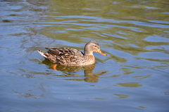 Common Mallard  - Anas platyrhynchos. Common Mallard (Anas platyrhynchos), female Stock Photography