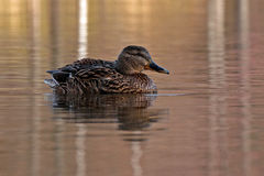 Common mallard duck female. A colorful  common mallard duck female, swimming on lake Royalty Free Stock Images