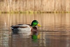 Common mallard duck male. A colorful  common mallard duck male, swimming on lake Stock Image