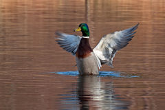 Common mallard duck male. A colorful  common mallard duck male, with wings open Stock Images