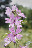Common mallow. Alongside Chesterfield canal Stock Photo