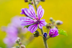 Common Mallow. Bud from red poppy in the fields Royalty Free Stock Photography