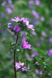 Common mallow close-up. Common mallow flowers close-up in greenery. Shallow DOF, blurred background Stock Images