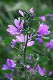 Common mallow close-up. Common mallow flowers close-up in greenery. Shallow DOF, blurred background Royalty Free Stock Image