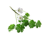Common Mallow Flower. Common Mallow wildflower plant isolated on white Stock Photography