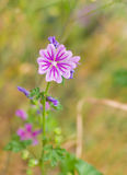 Common mallow flower in wild field. Common mallow (Malva sylvestris) flower in wild field Royalty Free Stock Images
