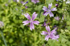 Common mallow flowers. A group of common mallow flowers Malva sylvestris blooming. Botanical Garden, Frankfurt, Germany, Europe Royalty Free Stock Photography