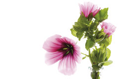 Common mallow (Malva silvestris), close-up Stock Image