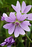 Common mallow. Malva sylvesrtris, common mallow in vertical composition Stock Image