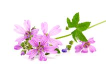 Common Mallow (Malva sylvestris ). Also known as High Mallow, Tall Mallow, Blue Mallow, Cheese-cake, Pick-cheese, Round Dock, Country-mallow, Wild Mallow, Wood Royalty Free Stock Photos