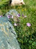 Common mallow, Malva sylvestris Stock Photography