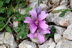 Common mallow or Malva sylvestris spreading herb plant with bright pinkish purple with dark stripes flowers growing between rocks. Common mallow or Malva royalty free stock images