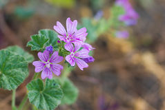 Common mallow Malva sylvestris flowers in spring garden Stock Images