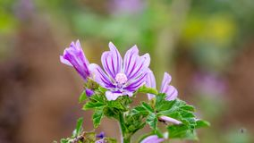 Common Mallow or Malva sylvestris. Healthy plant Stock Image