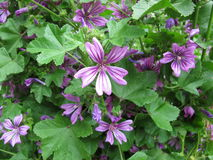Common mallow, Malva sylvestris Royalty Free Stock Images
