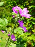 Common Mallow Plant. Malva sylvestris or Common Mallow Royalty Free Stock Image
