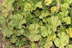 Common Mallow Plant (Malva Sylvestris) Stock Photos
