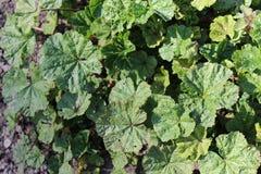 Common Mallow Plant (Malva Sylvestris) Stock Images