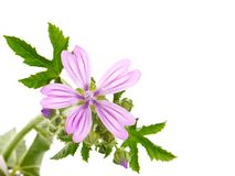 Common Mallow plant with pink flower and leaves, Malva sylvestris. Common Mallow plant with pink flowers and leaves isolated on white background, Malva Royalty Free Stock Images