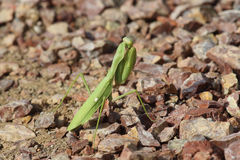 Common mantis or Santateresa (Mantis religiosa) sits on a background of red stones Royalty Free Stock Photography