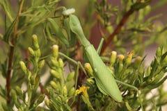 Common mantis or Santateresa (Mantis religiosa) sits on green-yellow bush Stock Photos