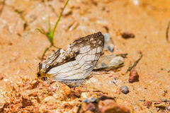 Common map butterfly Royalty Free Stock Photography