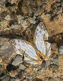 Common Map butterfly, Cyrestis thyodamas, Garo Hills, Meghalaya