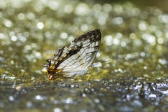 Common Map Butterfly Royalty Free Stock Images