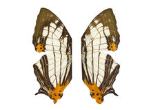Common Map butterfly wings. Stock Images