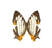 Common Map butterfly wings. Royalty Free Stock Photo