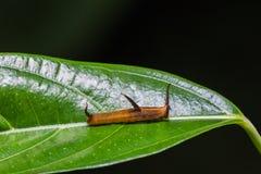 Common Map caterpillar Royalty Free Stock Image
